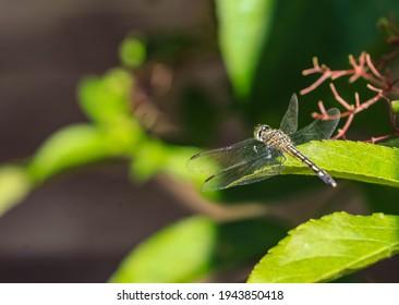 A Male Lilypad Clubtail, Arigomphus furcifer, resting on a leaf