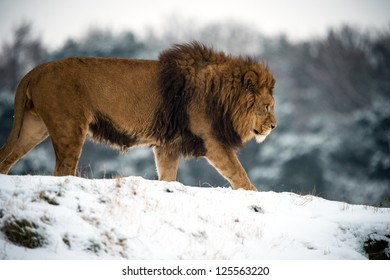 male lion against a background of snow/Lion