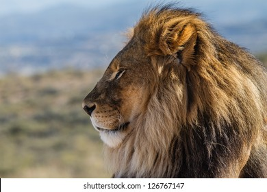 Male Lion in all of his glory profile view