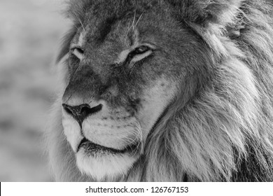 Male Lion in all of his glory black and white portrait