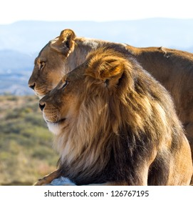 Male Lion in all of his glory