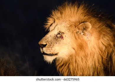 Male Lion with battle scars