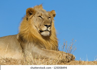 Male lion with blue sky