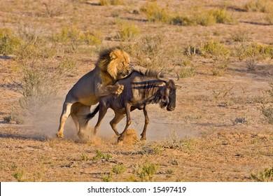 Male lion catching a blue wildebeest; Panthera leo; Kalahari desert; South Africa