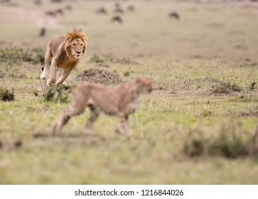 A male lion chasing a cheetah in a savannah in Maasai Mara Game Reserve, Kenya