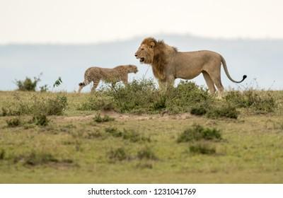 A male lion and cheetah in a savannah in Maasai Mara Game Reserve, Kenya