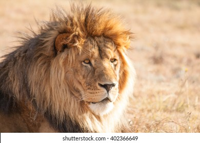 Male Lion chilling in the african afternoon sun. Freestate, South Africa