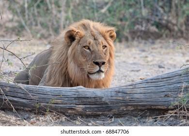 Male Lion, Chobe National Park, Botswana