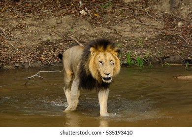 Male Lion crossing River, Sabi Sand Game Reserve, South Africa