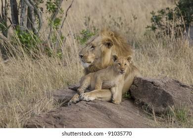 Male Lion with cub in the Masai Mara