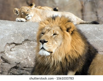 Male lion and cub relaxing on rocks