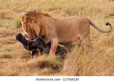 A male lion drags his kill in Masai Mara National Park - Kenya