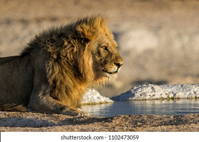 Male lion drinking in the Etosha National Park in Namibia
