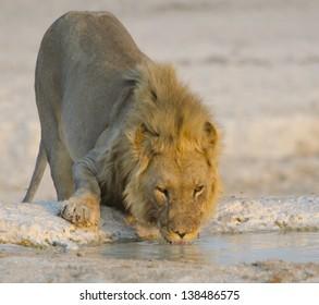Male lion drinking water.