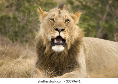 Male lion in an Eastern cape reserve.