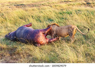Male Lion eating from a dead hippo on the savanna in Africa
