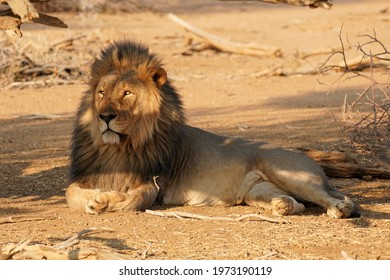 Male Lion in Erindi Private Game Reserve, Namibia
