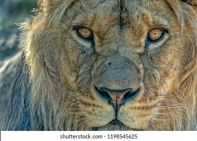 male lion eyes close up detail looking at you