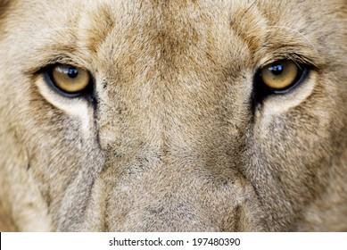 Male Lion Eyes / Closeup of Male Lion Eyes