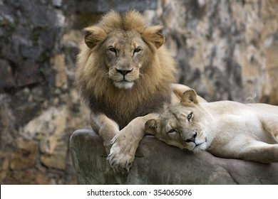 Male lion face resting on top of a rock