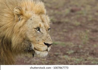 male lion facial portrait in the bushveld