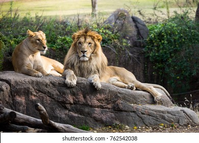 Male lion and female lion