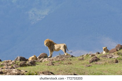 "Male Lion with female (scientific name: Panthera leo, or ""Simba"" in Swaheli)  in the Ngorogoro National park, Tanzania"