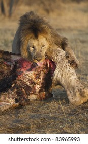 Male lion with a giraffe kill