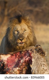 Male lion at a giraffe kill