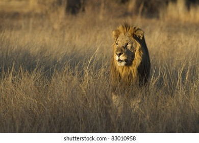 Male lion in grass land as the sun is setting