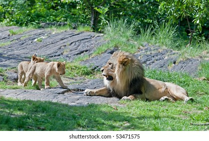 Male lion growls at his cubs
