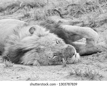 A male Lion having a snooze in Southern African savanna