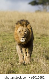 Male lion head on