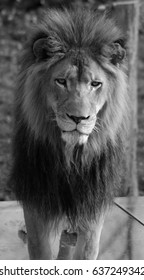 Male lion: Highly distinctive, the male lion is easily recognized by its mane, and its face is one of the most widely recognized animal symbols in human culture