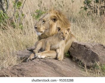 A male lion & his little one in the Masai Mara.