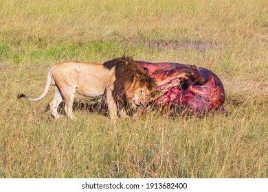 Male lion at his prey that he has hunted down