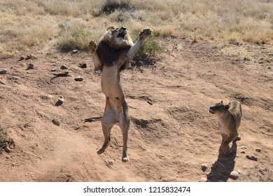 Male Lion jumping