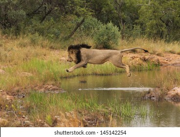 Male lion jumping over water