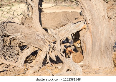 A male lion with it's kill, camouflaged behind a dead camelthorn tree.