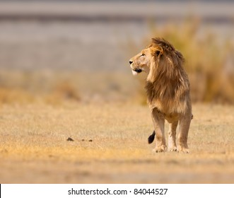 Male lion, king of the beasts in Africa, looks for game in early light.