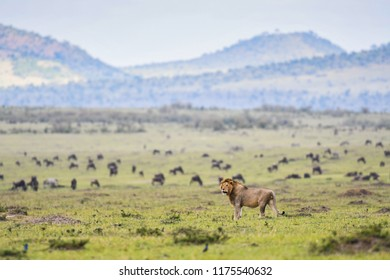 A Male lion laying down in a meadow with a herd of animals in background in Masai Mara Game Reserve, Kenya,