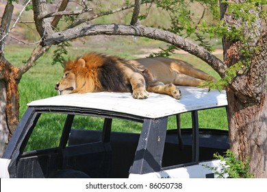 A Male Lion laying on an abandoned vehicle