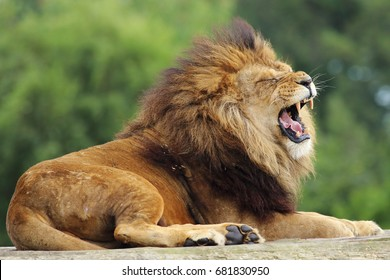A male Lion laying on a wooden platform roaring.