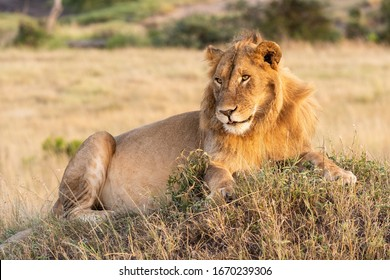 Male lion lies on mound with catchlight