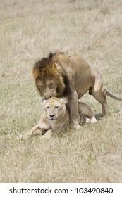 Male Lion and Lioness procreate in the Masai Mara