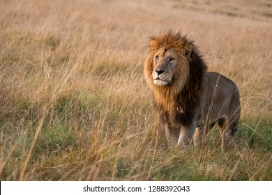 A Male lion looking at the female at the distance with intent of mating with her inside masai mara during a wildlife safari