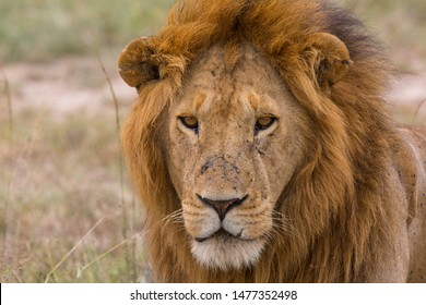 A male lion looking at forward to you, closeup portrait of a male lion in Masai Mara Kenya. African lion.