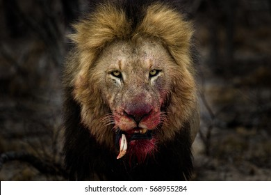 Male lion looking mean! His tooth was dislodged by fighting with another male lion.