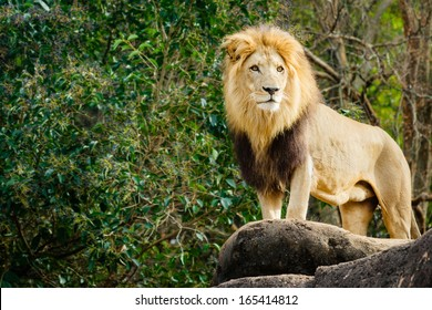 Male lion looking out atop rocky outcrop with copy space