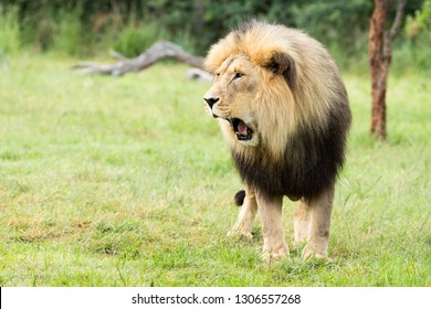 A male lion looks like he's surprised while yawning.